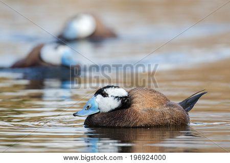 Male White-headed Ducks (oxyura Leucocephala) In Breeding Plumage Colours