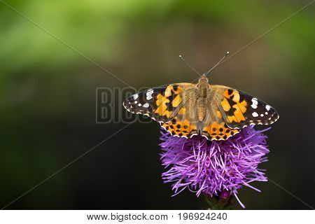 Painted lady butterfly resting with wings opened on a pink liatris flower