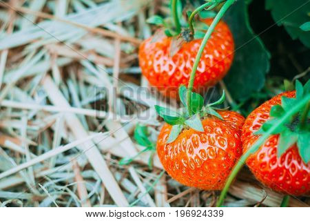 Tree ripe fresh growed strawberries laying on the hay ground.