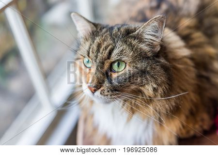 Closeup Portrait Of Calico Maine Coon Cat Looking Up Through Window Outside