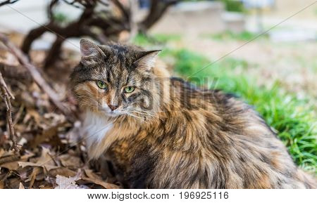 Closeup Portrait Of Calico Maine Coon Cat With Green Eyes Sitting Outside In Fallen Foliage And Gree