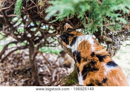 Closeup of calico cat climbing bush and sniffing branches
