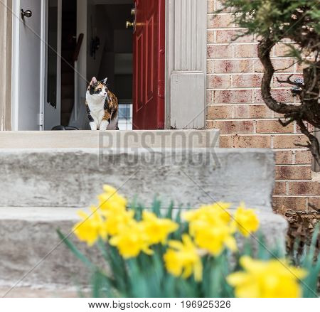 Calico Cat Walking Outside Of House By Many Open Yellow Daffodils