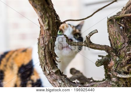 Closeup Of Calico Cat Climbing Sniffing Branches On Bush