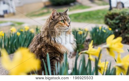 Maine Coot Cat Sitting Outside In Spring By Daffodils By Stairs On Porch