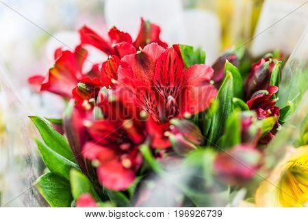 Red alstromeria flower bouquet macro closeup on display