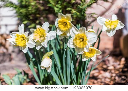Many Open White And Yellow Daffodil Flowers