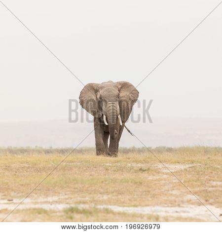 Solitary elephant at Amboseli National Park, formerly Maasai Amboseli Game Reserve, is in Kajiado District, Rift Valley Province in Kenya. The ecosystem that spreads across the Kenya-Tanzania border.