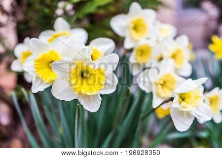 Many Open White And Yellow Daffodil Flowers With Water Drops