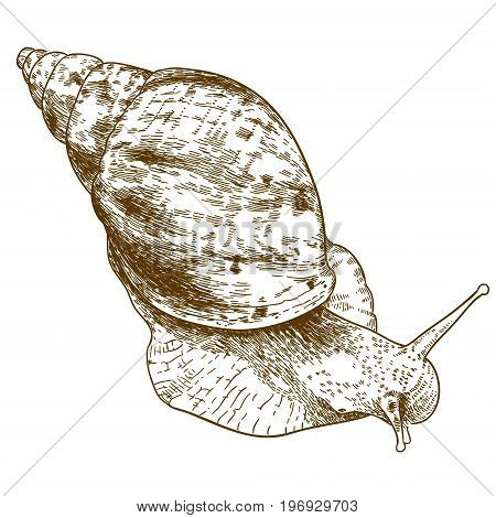 Vector antique engraving illustration of achatina snail isolated on white background