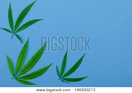 Leaves of cannabis on a blue background top view free space. Leaves of marijuana closeup. poster