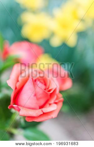 Side Macro Closeup Of One Orange Red Rose With Background Of Yellow Daffodils In Garden