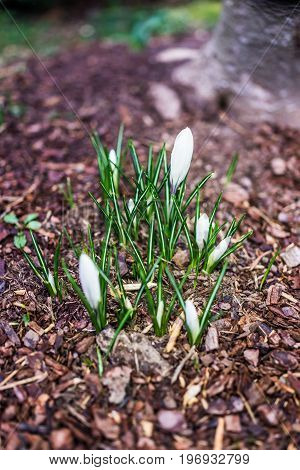 White large dutch giant crocus buds on ground