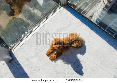 Red toy poodle puppy lies on floor against window. View from high rise window.