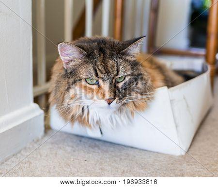 Maine Coon Cat Lying In Shoe Box Macro Closeup Of Face