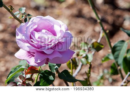 Beautiful Mauve Colored Rose - Rosaceae Rosa Charles De Gaulle Hybrid Tea Rose