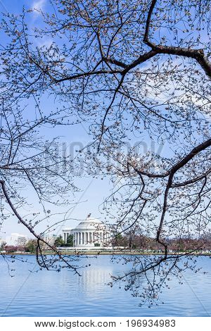 Damaged Cherry Blossom Branch In Washington Dc With Tidal Basin And Thomas Jefferson Memorial
