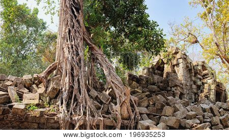 A large tree trunk of an old tropical tree growing near Prasat Beng Mealea in Angkor Complex, Siem Reap, Cambodia. Ancient Khmer architecture, World Heritage