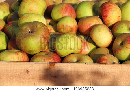 Crate of apples after harvesting during autumn