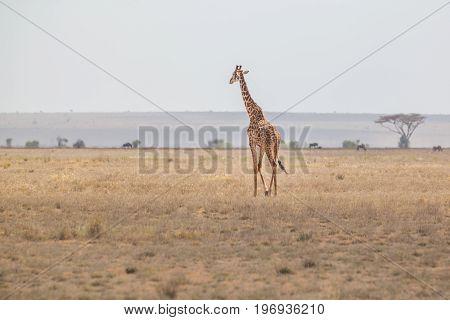 Solitary wild giraffe in Amboseli national park, Kenya.