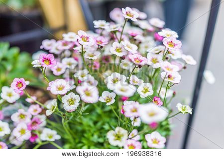 White And Pink Saxifrage Flowers Macro Closeup
