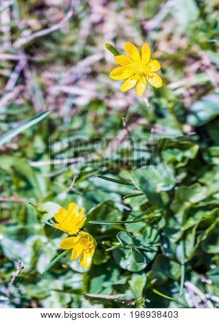 Lesser Celandine Or Ranunculus Ficaria Flowers Macro Closeup
