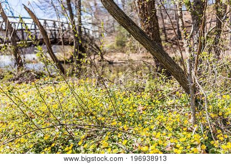 Many Yellow Lesser Celandine Flowers In Meadow By River And Bridge