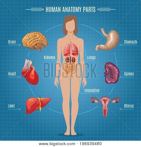Human anatomy parts infographic concept with female internal organs in cartoon style vector illustration