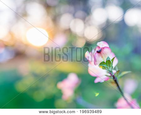 Macro Closeup Of Pink Flower Blossom On Branch With Sunset Bokeh