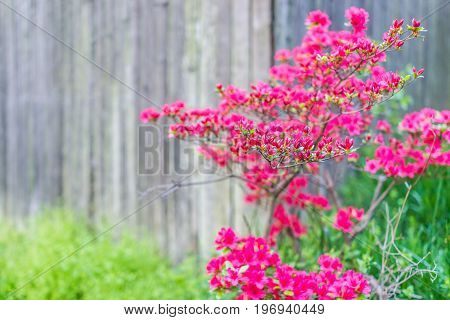 Red Rhododenron Flower Bush By Wooden Fence Macro Closeup