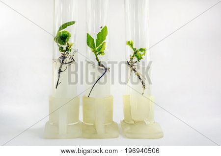 Close up view to microplants of cloned oak (Quercus robur L.) in test tubes with nutrient medium using micropropagation technology in vitro