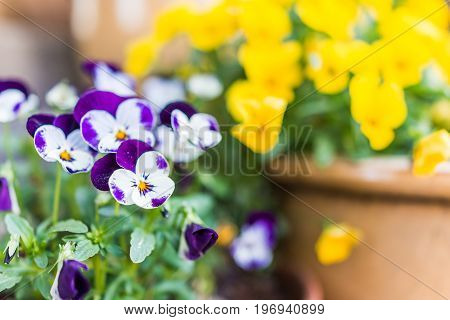 Macro Closeup Of Purple And White Double Pansy Flowers In Flower Pot On Porch