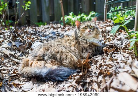 Calico Maine Coon cat lying down in fallen brown leaves in outdoor garden during day with sunlight in backyard by plants