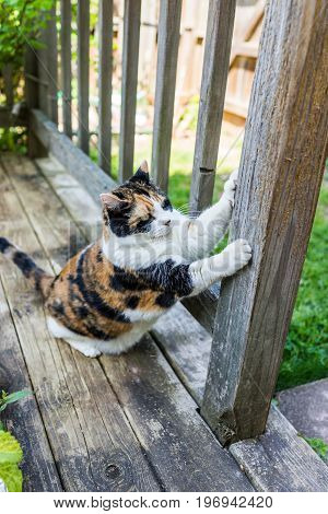 Calico Cat Scratching Nails On Scratch Post Outside In Outdoor Garden Backyard