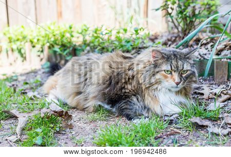 Calico Maine Coon Cat Lying Down In Fallen Brown Leaves In Outdoor Garden During Day With Sunlight I