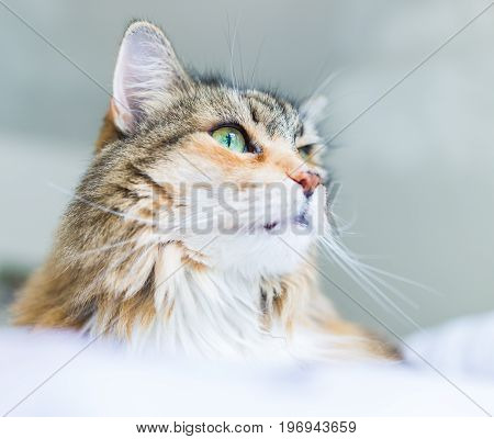 Macro Closeup Of Calico Maine Coon Cat Face With Whiskers In Sunlight Lying Down In Room
