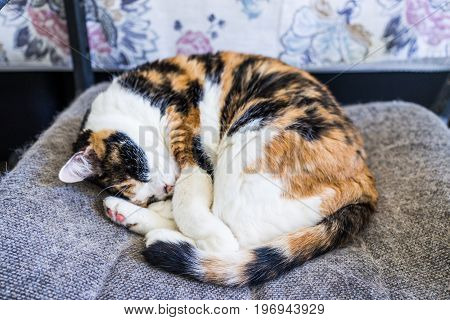 Closeup Of Calico Cat Sleeping Lying Curled Up In Chair With Tail Around Body And Shedding Hair