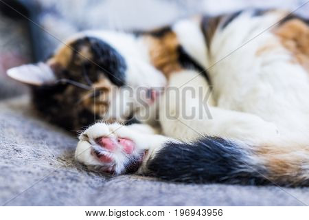 Macro Closeup Of Calico Cat Sleeping Lying Curled Up In Chair With Tail Around Body And Shedding Hai