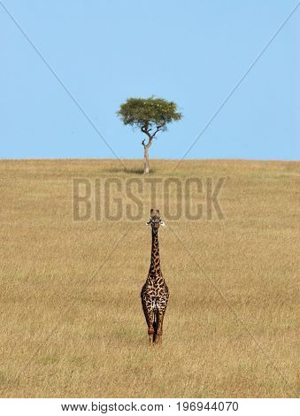 Giraffe and Acacia in the Savannah of Masai Mara