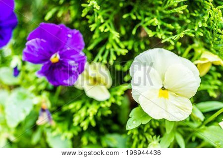Macro Closeup Of Pale Yellow And Purple Pansy Flowers In Flower Pot With Green Plants And Water Drop