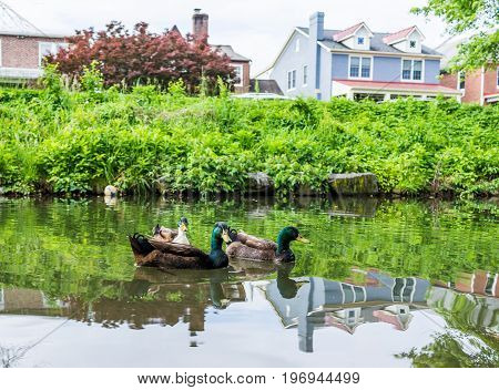 Three Green Ducks Swimming In Calm Carroll Creek In Frederick, Maryland In Park