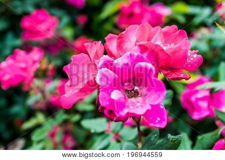 Macro Closeup Of Red And Pink Blooming Roses With Water Drops Showing Detail And Texture