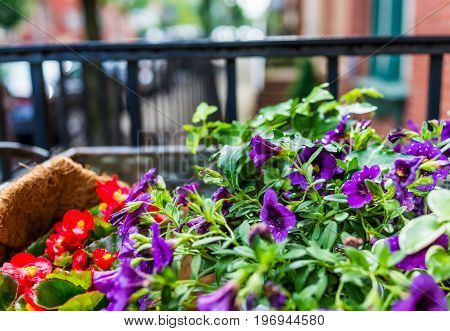 Purple And Red Calibrachoa Petunia Flower Bed On Porch In Downtown City By Brick House Entrance And