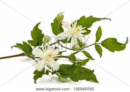 Flowers And Leafs Of Clematis , Lat. Clematis Vitalba L., Isolated On White Background