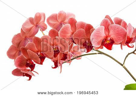 orchids on isolated background. beautiful flower branches orchids on white background. textures