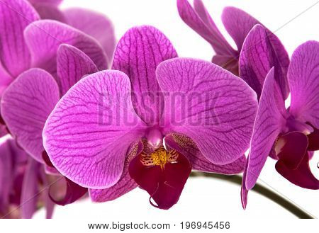 orchids on isolated background. beautiful flower branches orchids on white background