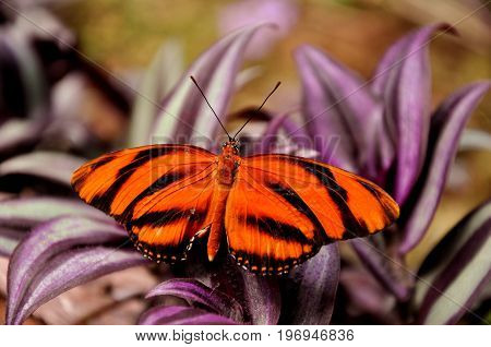 A tiger longwing butterfly lands on a flower in the gardens.