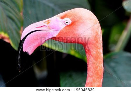 A flamingo shows off its pretty head and beak