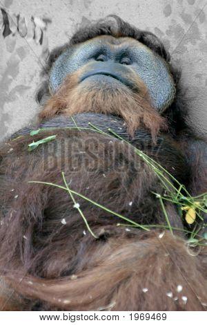 Sleeping Gorila