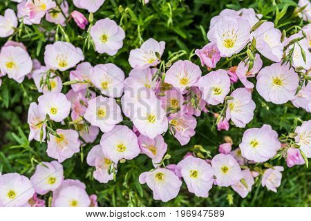 Closeup Of Many Pink Evening Primrose Flowers In Garden